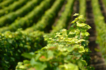 alignement de vignes