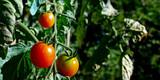 panorama tomatoes poster