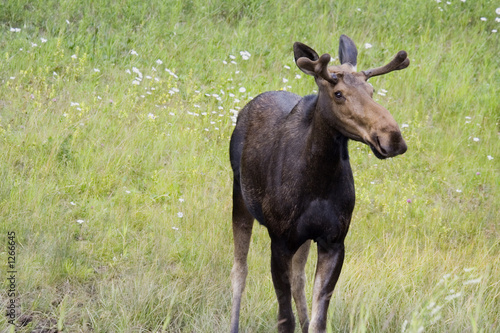 cow moose near the icefield parkway