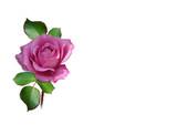 rose in naturfarbe freigestellt pink bzw. lila poster