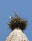 white storks in huesca, spain poster