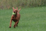 dog running on grass with ears and tail up play poster