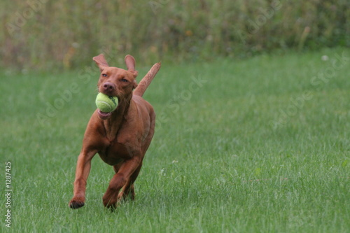 dog running on grass with ears and tail up play