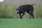 hunting dog pointing weimaraner poster