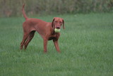 dog with tennis ball playing retrieve on green poster