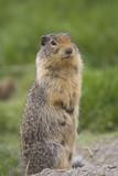 columbian ground squirrel upstanding poster
