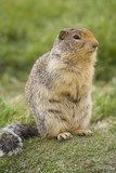 columbian ground squirrel with buschy tail poster