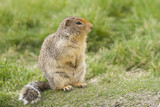 columbian ground squirrel with buschy tail - side view poster