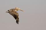brown pelican in flight 3 poster