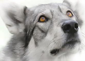 intense wolf