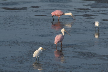 spoonbill,pink spoonbill,pink,bird,animal,nature,m