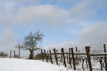 snow covered vineyard