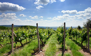 vineyard on the summer