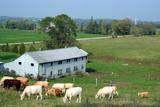 herd of cattle grazing poster