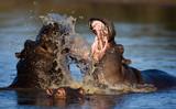 Fototapete Süden - Flußpferd - Säugetiere