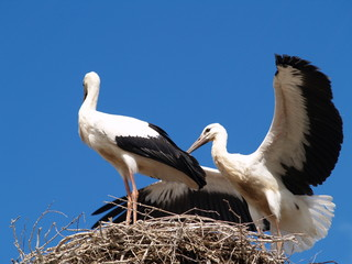 stork couple in nest