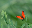 roleta: red butterfly