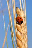 ladybird on the corn and the blue sky poster