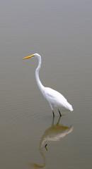 white heron (ardea herodias)