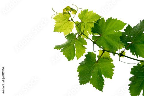 Foto op Canvas Wijngaard grape vine