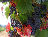ripe wine grapes