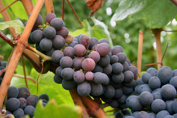 ripening grape clusters