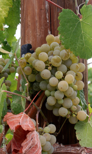 spanish grape cluster