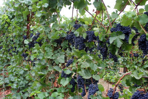 row of grapes