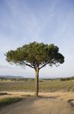 lone umbrella pine in a vineyard poster