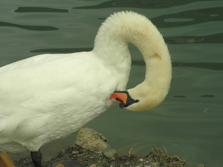 swan with arched neck