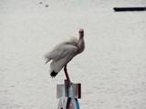 bird - white ibis 2 poster