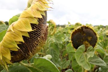 crumpled sunflowers