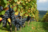 vineyard with bunches of ripe black grapes poster