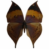 butterfly-indian leaf poster