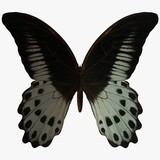 butterfly-marble swallow tail poster