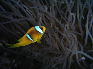 yellowtail anemonfish