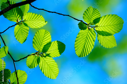 bright green leafs of young birch with clear blue