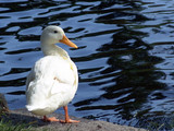 white duck for real poster
