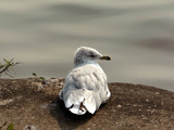 seagull - resting on the shore bank poster