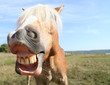 Quadro pferdegrimasse