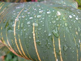 raindrops on a leaf poster