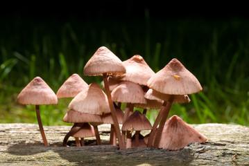 mushrooms growing in decaying wood