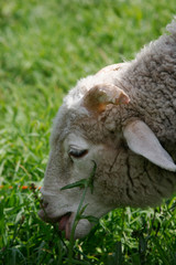 the young ram eats a grass