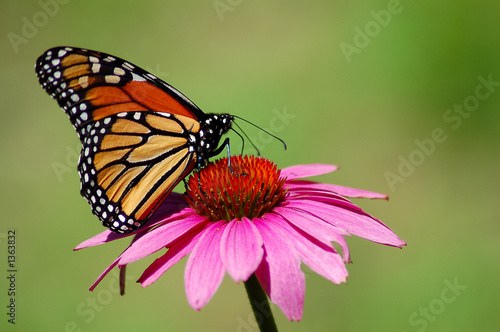 monarch butterfly - 1363832