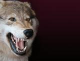 Fototapeta wolf