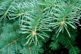 fir-branch poster