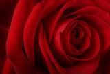 beautiful romantic red rose poster