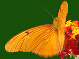 vivid orange butterfly poster