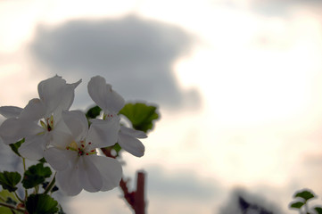 pelargonium and clouds