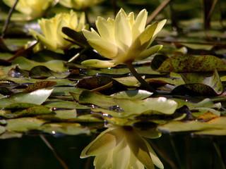 lilies in botanic garden in crimea 3